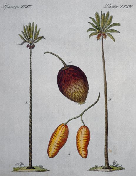Palm Trees / From Bertuch, 1796