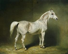 'Beatrice', the white arab saddlehorse of Helmuth Graf von Moltke