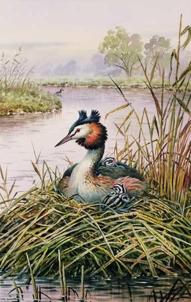 Great-Crested Grebes