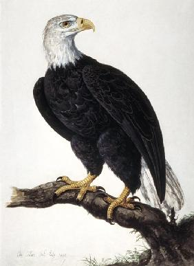 White-headed Sea Eagle