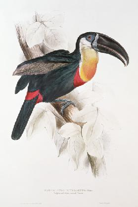 Sulphur and white breasted Toucan
