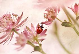 Ladybird and pink flowers
