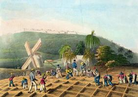 Planting the Sugar-Cane, pub. by Infant School Society Depository, London, c.1820 (etching, engravin