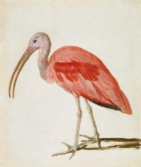Portrait of a Scarlet Ibis Bird