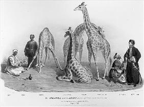 The Giraffes with the Arabs who brought them over to this country, Zoological Gardens, Regent''s Par