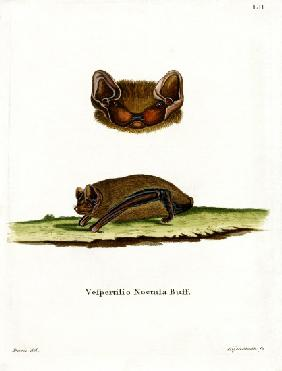 Common Noctule Bat