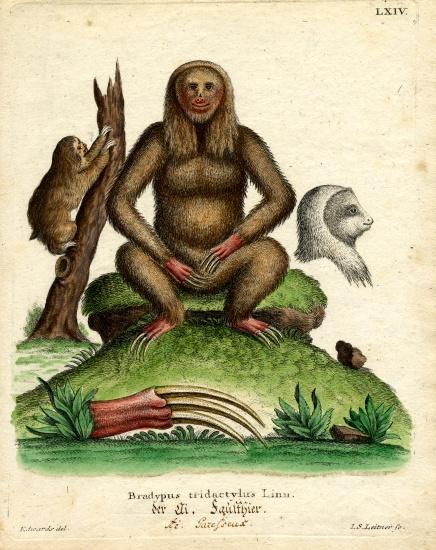 Sloth German