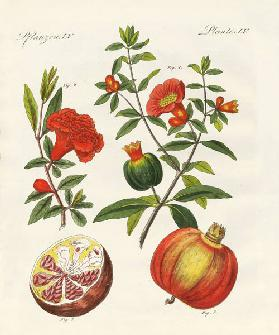 The pomegranate