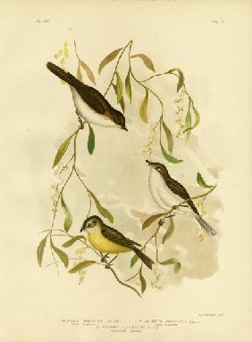 Allied Flycatcher