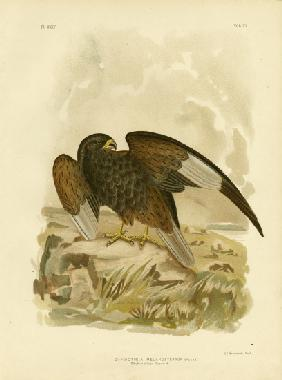 Black-Breasted Buzzard