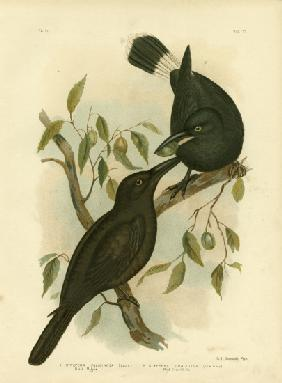 Black Magpie Or Black Currawong