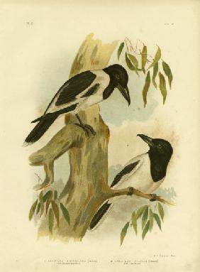 Black-Throated Crow-Shrike