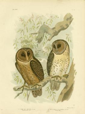 Chestnut-Faced Owl