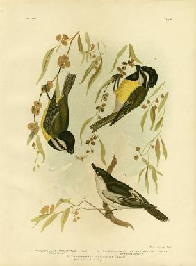 Frontal Shrike-Tit Or Crested Shrike-Tit