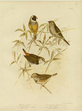 Golden Grass Finch