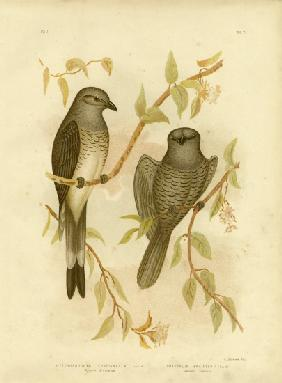 Ground Graucalus Or Ground Cuckoo Shrike
