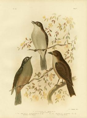 Harmonious Shrike-Thrush Or Grey Shrike-Thrush