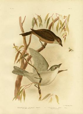 Little Shrike-Thrush
