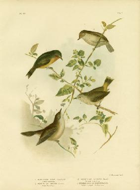 Little Thornbill Or Yellow Thornbill