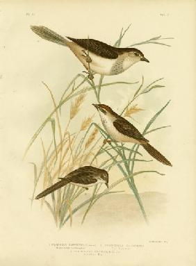 Rufous-Tinted Cincloramphus Or Rufous Songlark