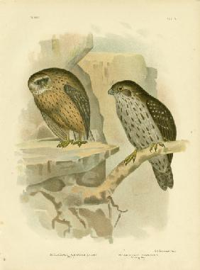 Wekau Or Laughing Owl