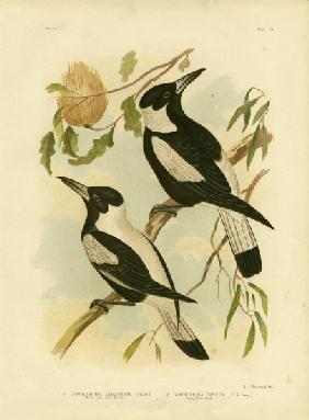 White-Backed Crow-Shrike