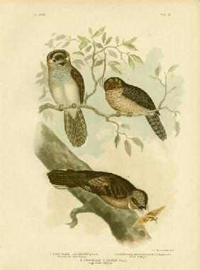 White-Bellied Owlet Nightjar Or Moth Owl