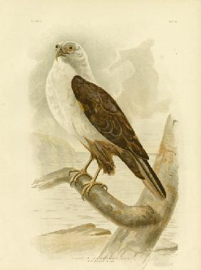 White-Breasted Sea Eagle