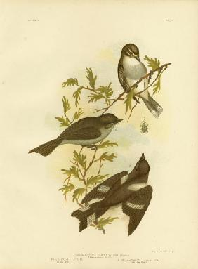 White-Eyebrowed Robin