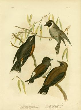 White-Eyebrowed Wood Swallow