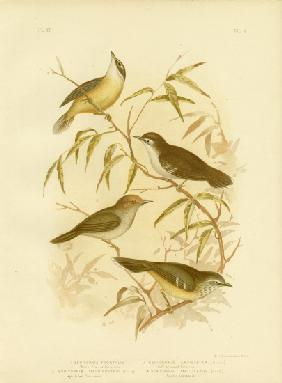 White-Fronted Scrubwren Or White-Browed Scrubwren