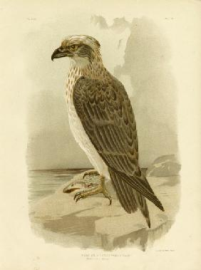 White-Headed Osprey