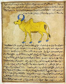 Ms E-7 fol.181b Zebu, illustration from ''The Wonders of the Creation and the Curiosities of Existen