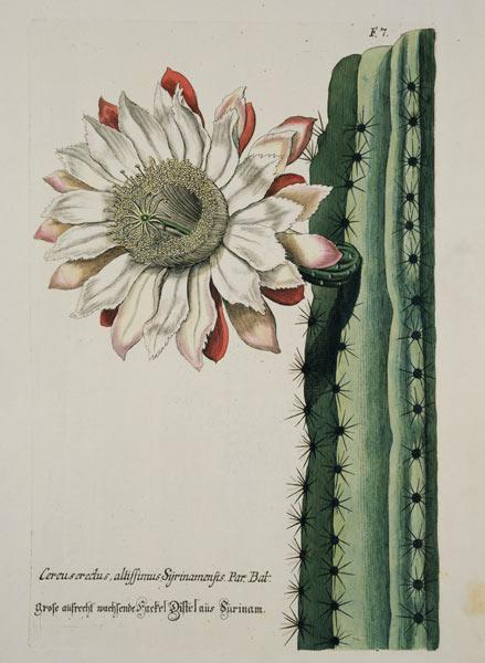 Cereus Erectus Altissimus Syrinamensis from 'Phythanthoza Iconographica' published in Germany