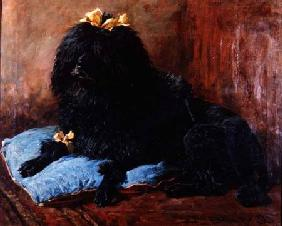 A Black Standard Poodle on a blue cushion