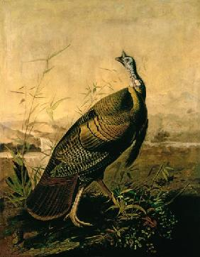 The American Wild Turkey Cock
