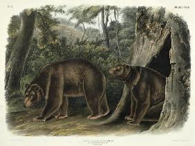 Ursus Americanus, var. Cinnamonum (Cinnamon Bear), plate 127 from 'Quadrupeds of North America', eng