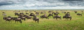Great Migration in Serengeti Plains