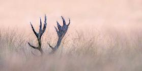 Hide & Seek  ( Horn of Stag)