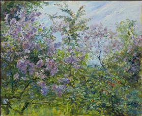 Blossoming Lilac