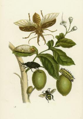 Genipa americana and Insects / Merian