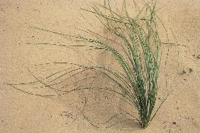 Grass growing in sand of river bed, Canyon lands National Park (photo)