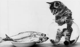 Kitten in an aquarium looking at fishes in a plate