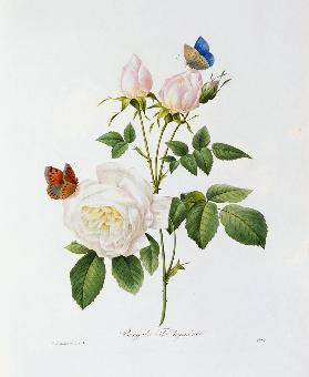 Rosa Bengale the Hymenes