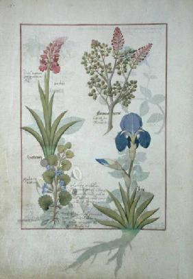 Ms Fr. Fv VI #1 fol.114v Top row: Orchid and Fumitory or Bleeding Heart. Bottom row: Hedera and Iris