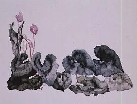 Cyclamen Neapolitarum