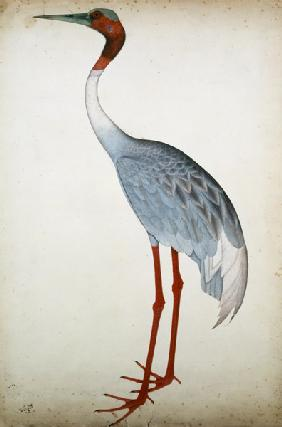 Sarus Crane, painted for Lady Impey at Calcutta