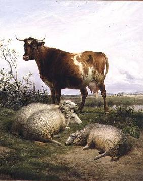 Sheep and a Cow Grazing