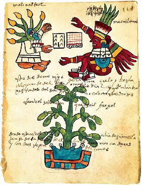 Cacao tree from the Codex Tudela