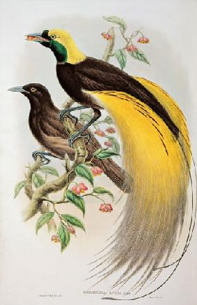 Bird of Paradise: Greater, Paradisaea Apoda